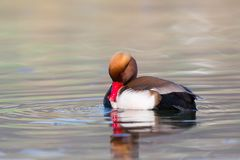 Male red crested pochard Netta rufina grooming in sunlight royalty free stock images