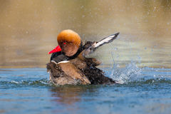 Male red-crested pochard Netta rufina swimming, pluming, splas Royalty Free Stock Images