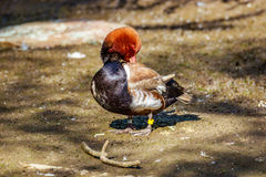 Male Red-Crested Pochard Royalty Free Stock Photos
