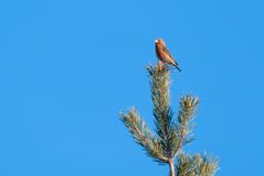Male red crossbill on top of a scots pine Stock Photos