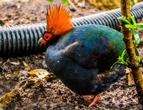 Male Red crowned wood partridge in closeup, funny tropical bird from Asia, popular pet in aviculture. A Male Red crowned wood partridge in closeup, funny stock photography