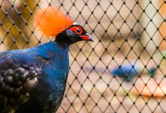 Male red crowned wood partridge with his face in closeup, funny tropical bird from Asia, Near threatened animal specie. A male red crowned wood partridge with royalty free stock images