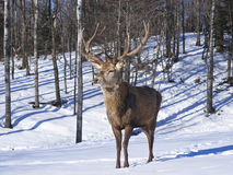 Male Red Deer Stock Photo