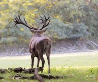 Male red deer in autumn Stock Photography