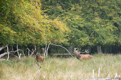 Male red deer bellowing and chasing females. Male red deer, Cervus elaphus, bellowing and chasing females in a forest in autumn Royalty Free Stock Image