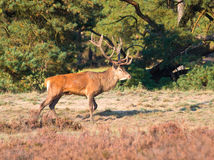 Male red deer (Cervus elaphus) Stock Photos