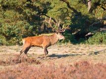Male red deer (Cervus elaphus). On forest edge Stock Photos