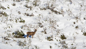 A male Deer in the snow Royalty Free Stock Photography
