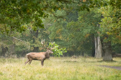 Male red deer, Cervus elaphus Stock Photo