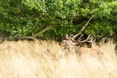Male red deer Cervus elaphus with huge antlers during mating season in Denmark. Mating season, Majestic powerful adult red deer stag outside autumn forest. Big royalty free stock images