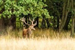 Male red deer Cervus elaphus with huge antlers during mating season in Denmark stock photography