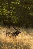Male red deer Cervus elaphus with huge antlers during mating season in Denmark. Mating season, Majestic powerful adult red deer stag outside autumn forest. Big stock image