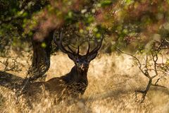Male red deer Cervus elaphus with huge antlers during mating season in Denmark. Mating season, Majestic powerful adult red deer stag outside autumn forest. Big stock photo