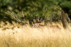 Male red deer Cervus elaphus with huge antlers during mating season in Denmark stock image