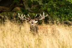 Male red deer Cervus elaphus with huge antlers during mating season in Denmark. Mating season, Majestic powerful adult red deer stag outside autumn forest. Big royalty free stock photos