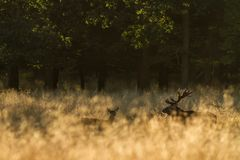 Male red deer Cervus elaphus with huge antlers during mating season in the early morning autumn light royalty free stock photography