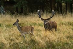 Male red deer Cervus elaphus with huge antlers during mating season in the early morning autumn light stock photos