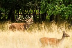 Male red deer Cervus elaphus with huge antlers during mating season in the early morning autumn light stock photography