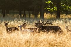 Male red deer Cervus elaphus with huge antlers during mating season in the early morning autumn light royalty free stock photos
