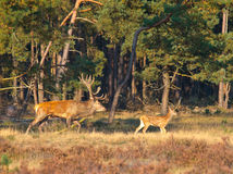 Male red deer (Cervus elaphus) with juvenile Stock Images