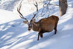 Male red deer coming in deep snow royalty free stock photos