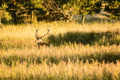 Male red deer in grasses Royalty Free Stock Photography