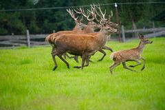 Male Red Deer Herd and Fawn. Herd of large Red Deer Running in a grassy Field Royalty Free Stock Image