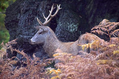 Male Red  Deer. A red deer hidden amongst the bracken during the rutting season Royalty Free Stock Image