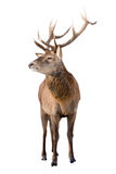 Male red deer isolated on white Royalty Free Stock Image