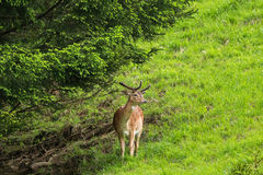 Male Red deer with new horn standing under pine tree in the fore. St during summer in Austria, Europe Stock Image