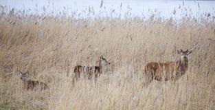 Male red deer in oostvaarders plassen near lelystad in the netherlands. Male red deer protect young in oostvaarders plassen near lelystad in the netherlands Royalty Free Stock Photography