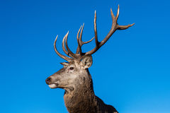 Male red Deer portrait looking at you. Close up portrait Stock Image