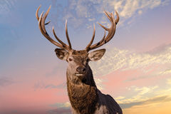 Male red Deer portrait looking at you on cloudy sky background. Male red Deer portrait looking at you close up portrait on pink sunrise background Royalty Free Stock Photography