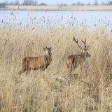 Male red deer in oostvaarders plassen near lelystad in the netherlands. Male red deer protect young in oostvaarders plassen near lelystad in the netherlands Stock Images