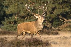 Male red deer during rut in a scenic National Park De Hoge Veluwe Stock Photography