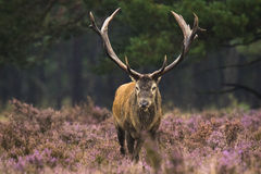 Male red deer rutting Royalty Free Stock Photos