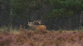 Male red deer rutting stock video footage