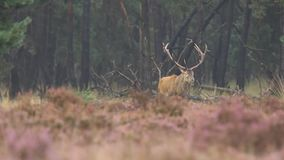 Male red deer rutting