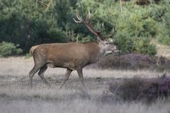 Male red deer during rutting season Stock Photos