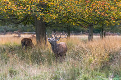 Male Red deer stag Royalty Free Stock Photos