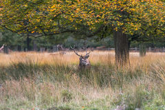 Male Red deer stag Royalty Free Stock Photo