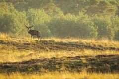 Male red deer stag cervus elaphus, rutting during sunset. Red deer male, cervus elaphus, with big antlers rutting during mating season on a landscape with field stock image