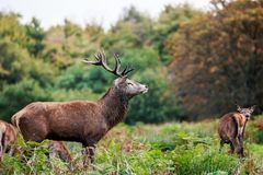 A male red deer stag keeping a watch over his harem. The red deer is one of the largest deer species. The red deer inhabits most of Europe, the Caucasus Stock Image