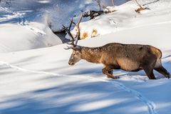 Male red deer walking in deep snow. A male red deer walking through the snow towards a creek Royalty Free Stock Image