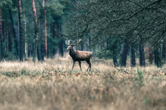 Male red deer walking in forest meadow. National Park Hoge Veluw Stock Image