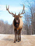 Male Red Deer in winter Stock Photography