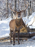 Male Red Deer in winter stock photos