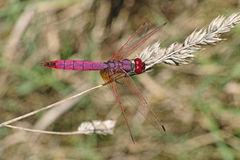 Male of red dragonfly Stock Photo