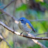 Male Red-flanked Bluetail Stock Photography