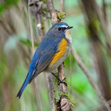 Male Red-flanked Bluetail Stock Images